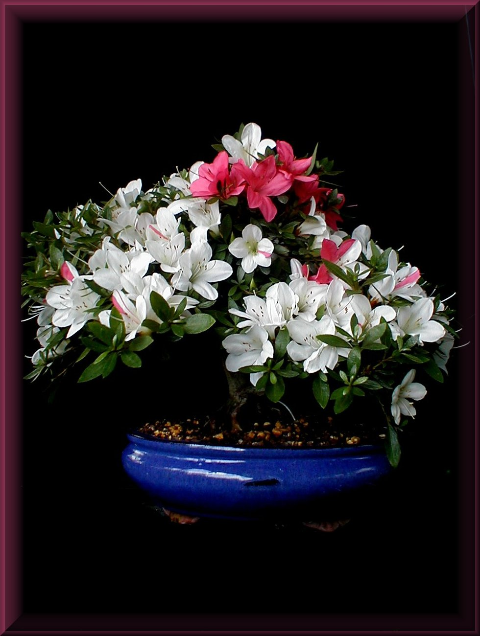 dagmar 39 s bonsai insel satsuki azalee kobai. Black Bedroom Furniture Sets. Home Design Ideas